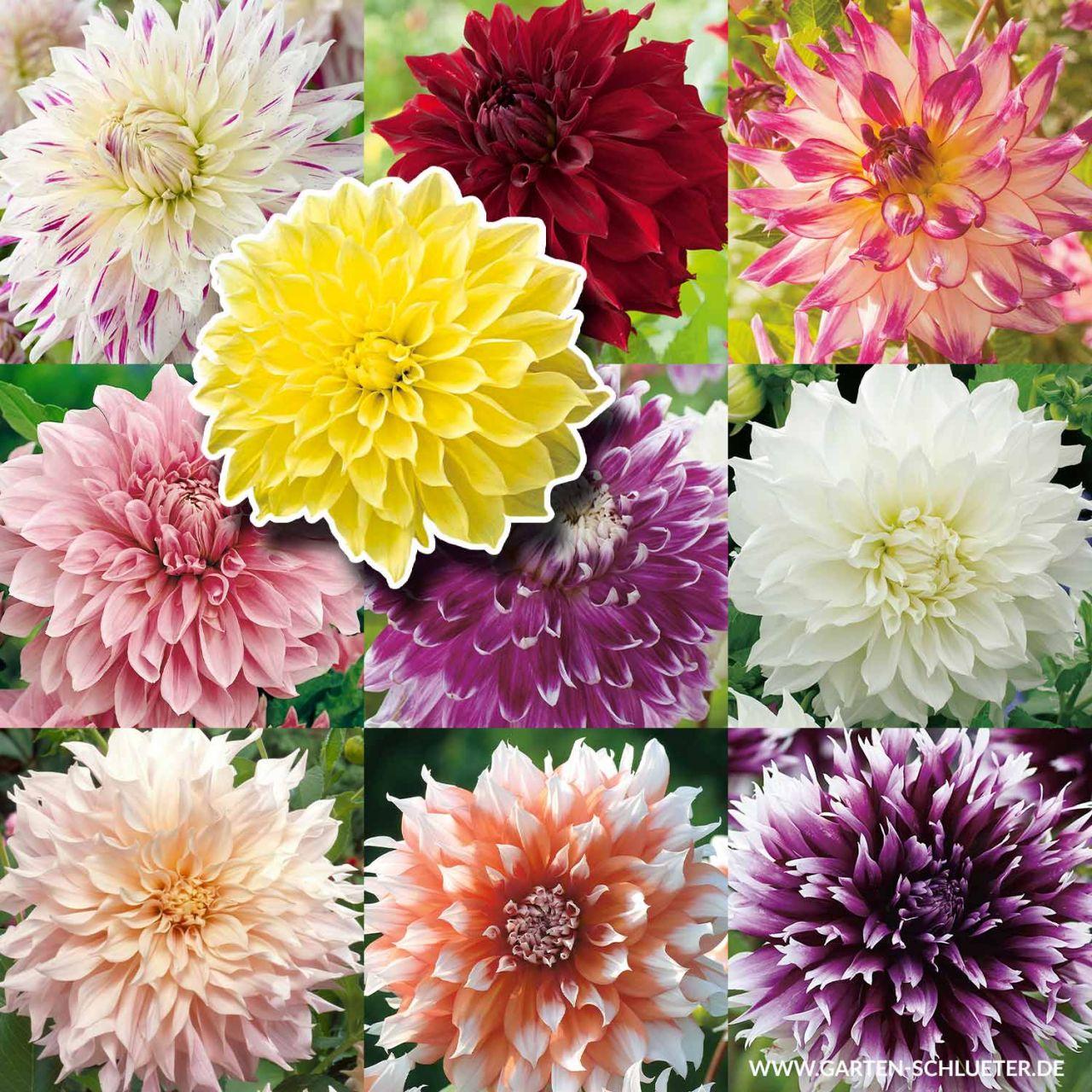 Kollektion Großblumige Dahlien - 10 Sorten