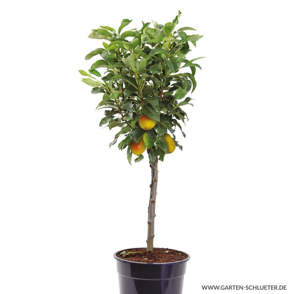 Obst-Zwerg® Birne 'Little Queen' Pyrus communis Bild