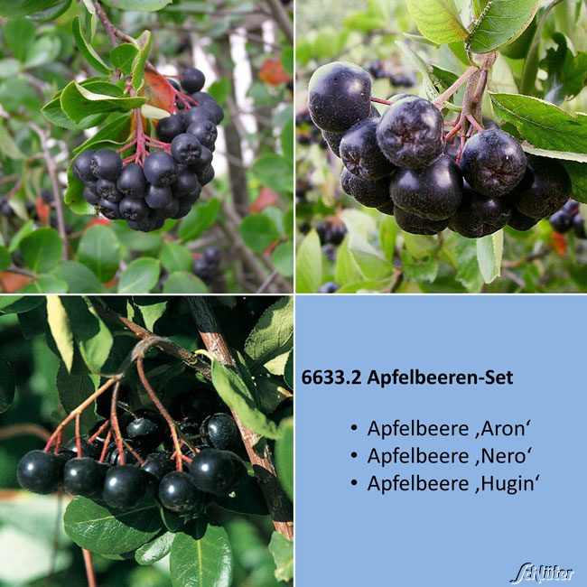 apfelbeeren set aronia melanocarpa set apfelbeeren garten schl ter. Black Bedroom Furniture Sets. Home Design Ideas