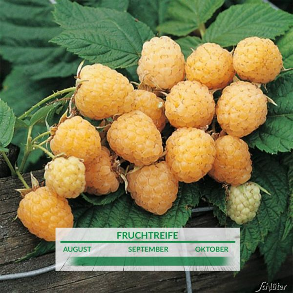 Himbeere 'Golden Everest' - die Gelbe Rubus idaeus 'Golden Everest' Bild