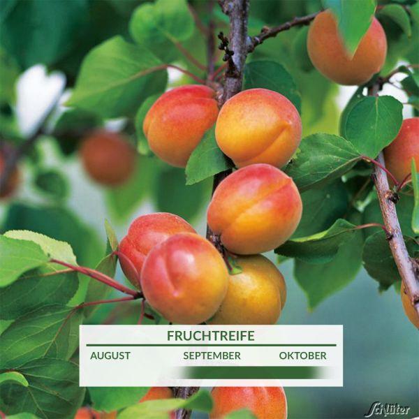 Säulen-Mirabelle Prunus Bild