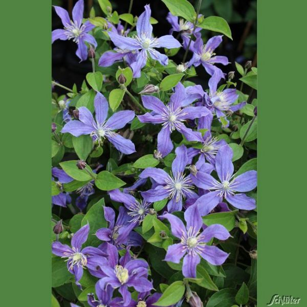 Stauden-Clematis 'Arabella' Clematis integrifolia 'Arabella' Bild