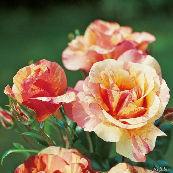 1-55599-Rose-Fruite-Rosa-Fruite