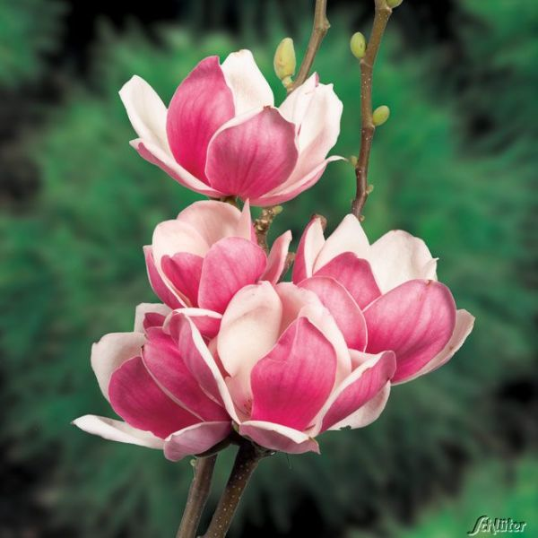 Magnolie 'Satisfaction®' Magnolia 'Satisfaction®' Bild
