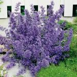 Lavendelblaue_Katzenminze