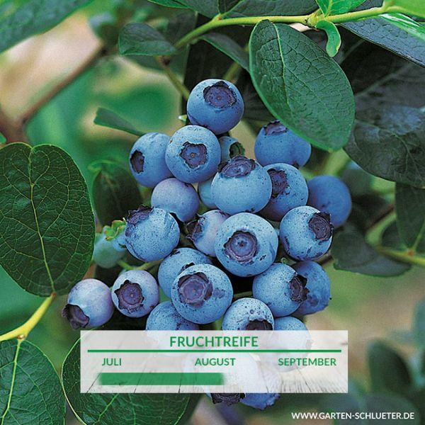 Heidelbeere 'Bluejay' Vaccinium corymbosum 'Bluejay' Bild