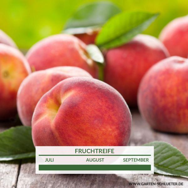 Roter Balkonpfirsich 'Peach Me Red' Prunus persica ' Peach Me Red' Bild
