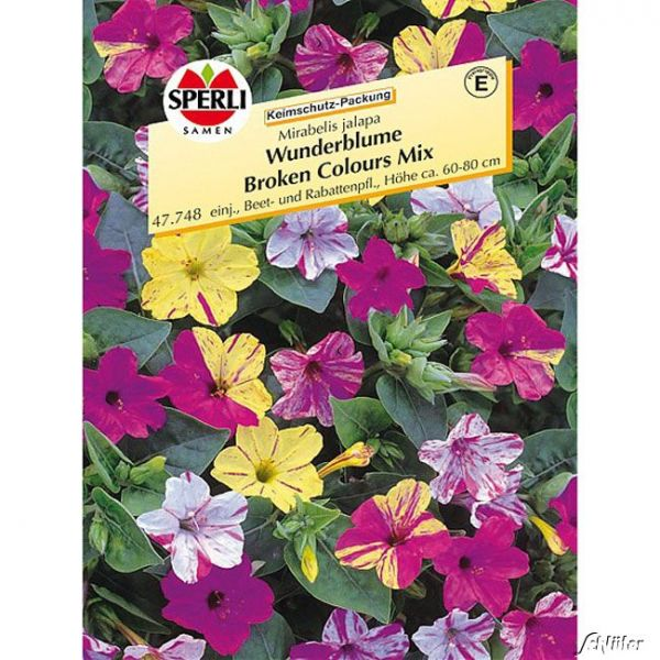 Wunderblume 'Broken Colours Mix' (Sperli) Mirabelis jalapa 'Broken Colours Mix' Bild