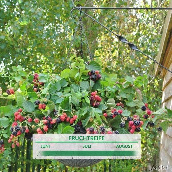 Topf-Brombeere 'Black Cascade' rubus fruticosus 'Black Cascade' Bild