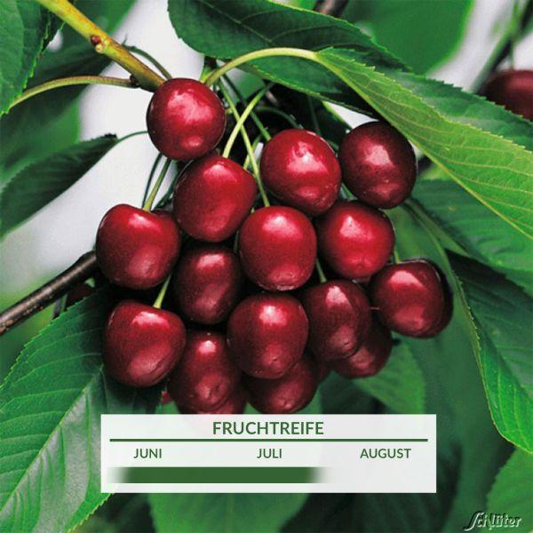 Süßkirsche 'Vanda' Prunus 'Vanda' Bild