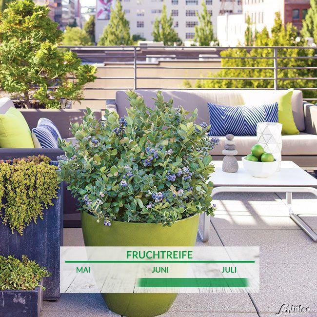 heidelbeeren baumschule pflanzen gro e pflanzen und b ume. Black Bedroom Furniture Sets. Home Design Ideas