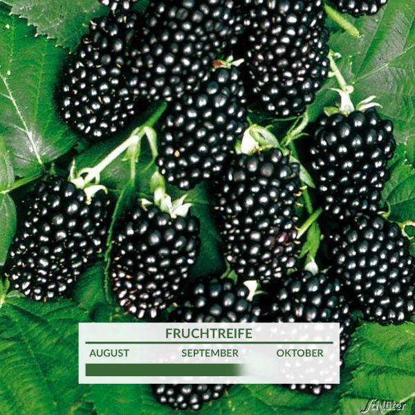 Brombeere 'Loch Ness®' (dornenlos) Rubus fruticosus 'Loch Ness®' Bild