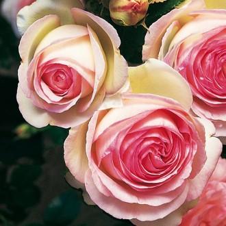 Rose_Eden_Rose