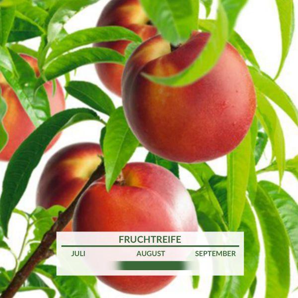 Säulennektarine 'Fantasia' Prunus nuciperisca 'Fantasia' Bild