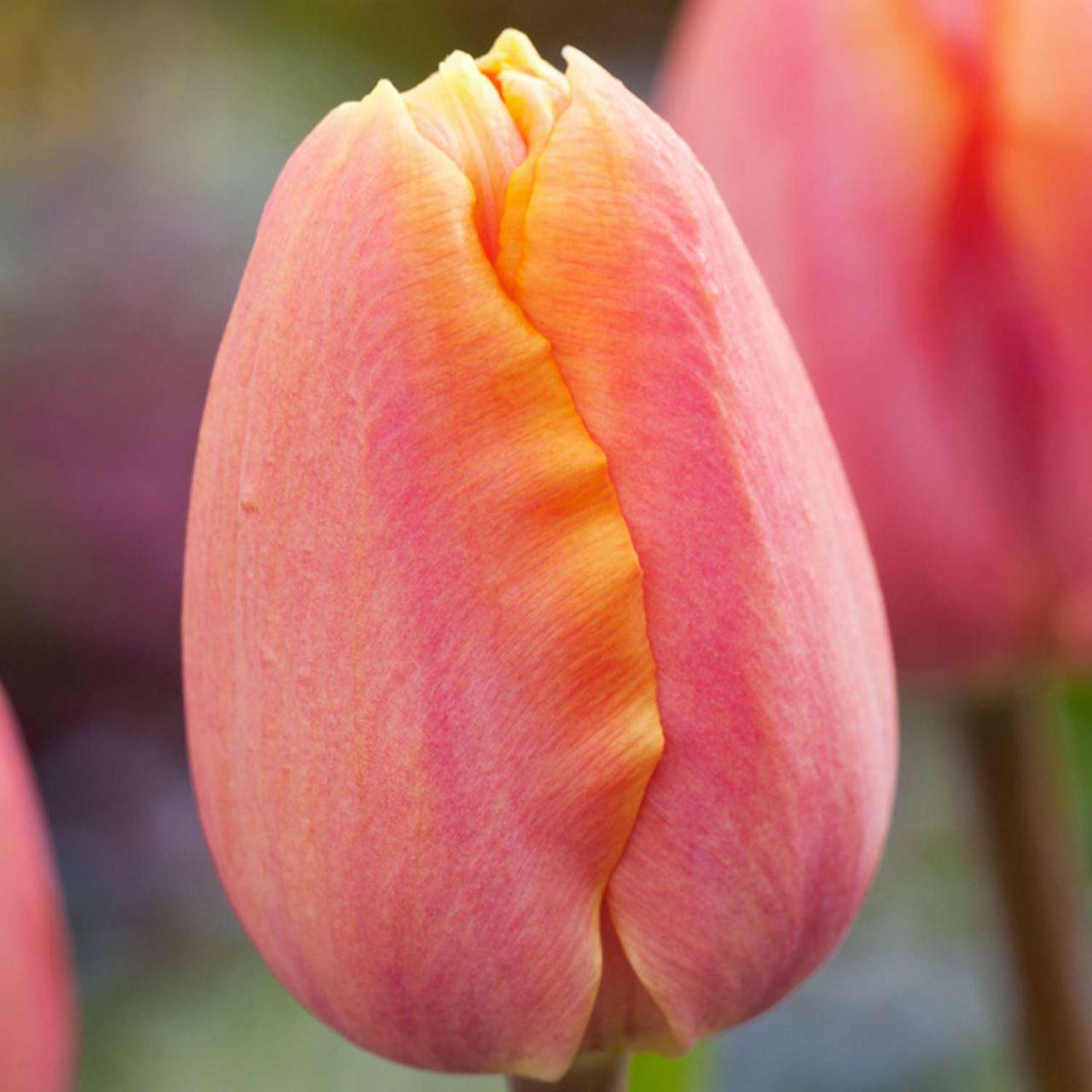 Einfache frühe Tulpe 'Apricot Favourite' - 7 Stück