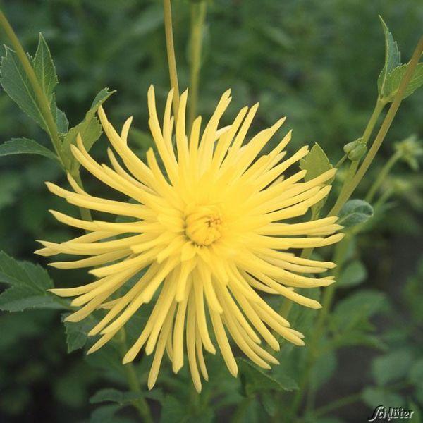 Kaktusdahlie 'Yellow Star' - 1 Stück Dahlia x hybrida Bild