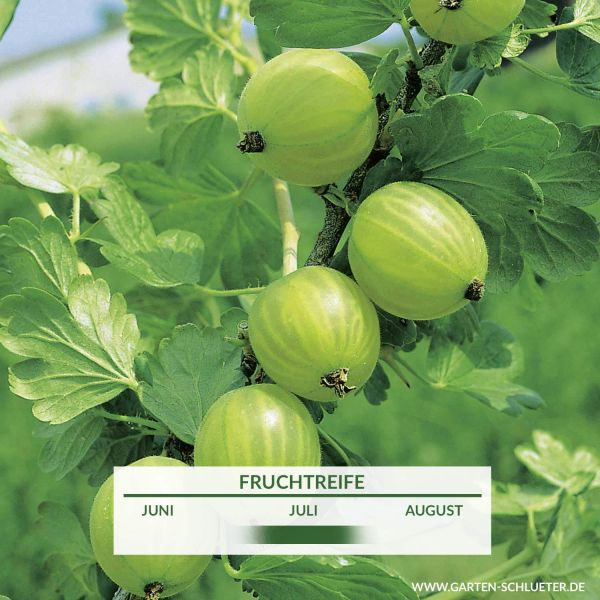Stachelbeere 'Mucurines' Ribes uva-crispa 'Mucurines' Bild