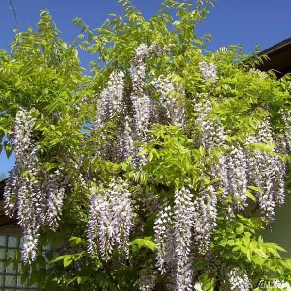Weißregen- Weißer Chinesicher Blauregen Wisteria sinensis Alba Bild