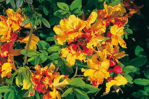 Azaleen-Sunte-Nectarine