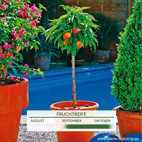 Obst-Zwerg® Nektarine 'Nectarella' Prunus nuciperisca 'Nectarella' (Zwergform) Bild