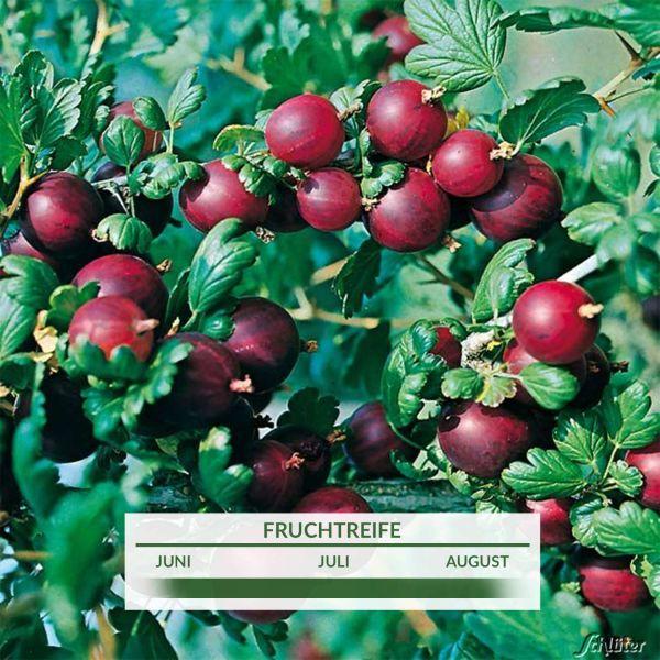 Stachelbeere 'Rolanda®' Ribes uva-crispa 'Rolanda®' Bild