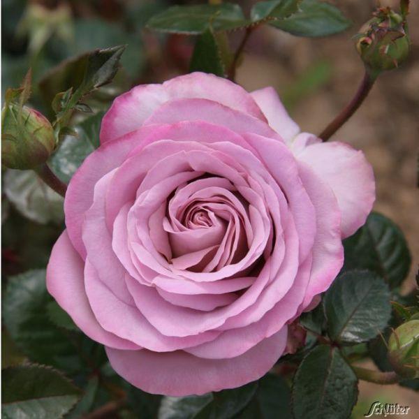 Edelrose 'Blue Girl' Rosa 'Blue Girl' Bild