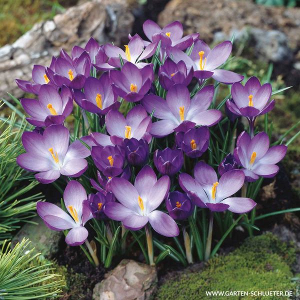Krokus 'Ruby Giant' Crocus 'Ruby Giant' Bild