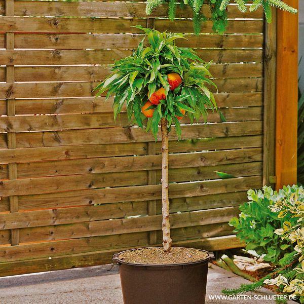 Obst-Zwerg® Pfirsich 'Bonanza' Prunus persica Bild