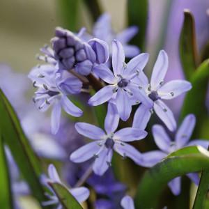 Blumenzwiebeln-Scilla-Bifolia-300x300