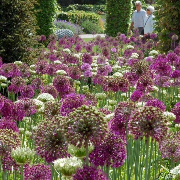 Allium 'Purple Sensation' (Iranlauch) Allium aflatunense 'Purple Sensation' Bild