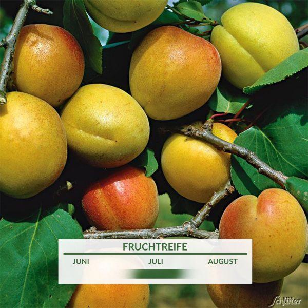 Aprikose 'Ungarische Beste' Prunus armeniaca 'Ungarische Beste' Bild