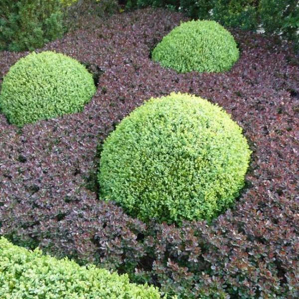 Buchsbaum-schneiden-und-in-Form-bringen