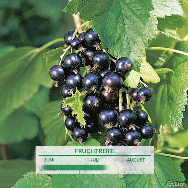 Schwarze Johannisbeere 'Tsema' Ribes nigrum 'Tsema' Bild