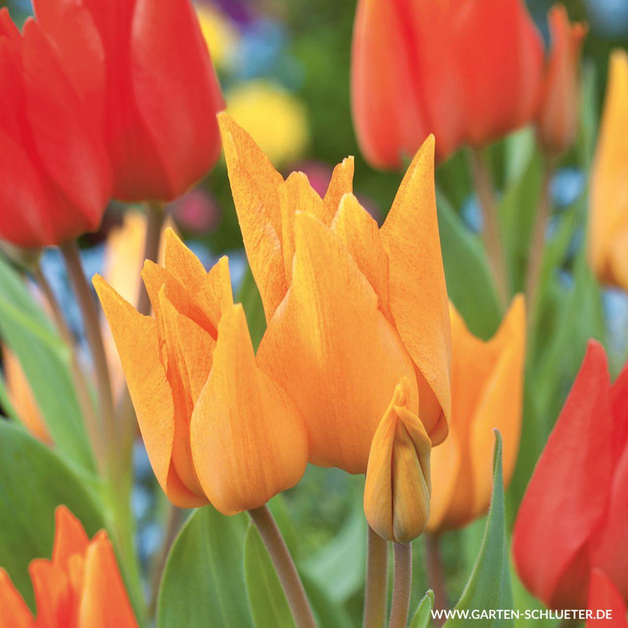 Mehrblütige Tulpen Mischung 'Praestans Mix' - 25 Stück