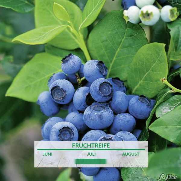 Heidelbeere 'Northblue' Vaccinium corymb. 'North Blue' Bild