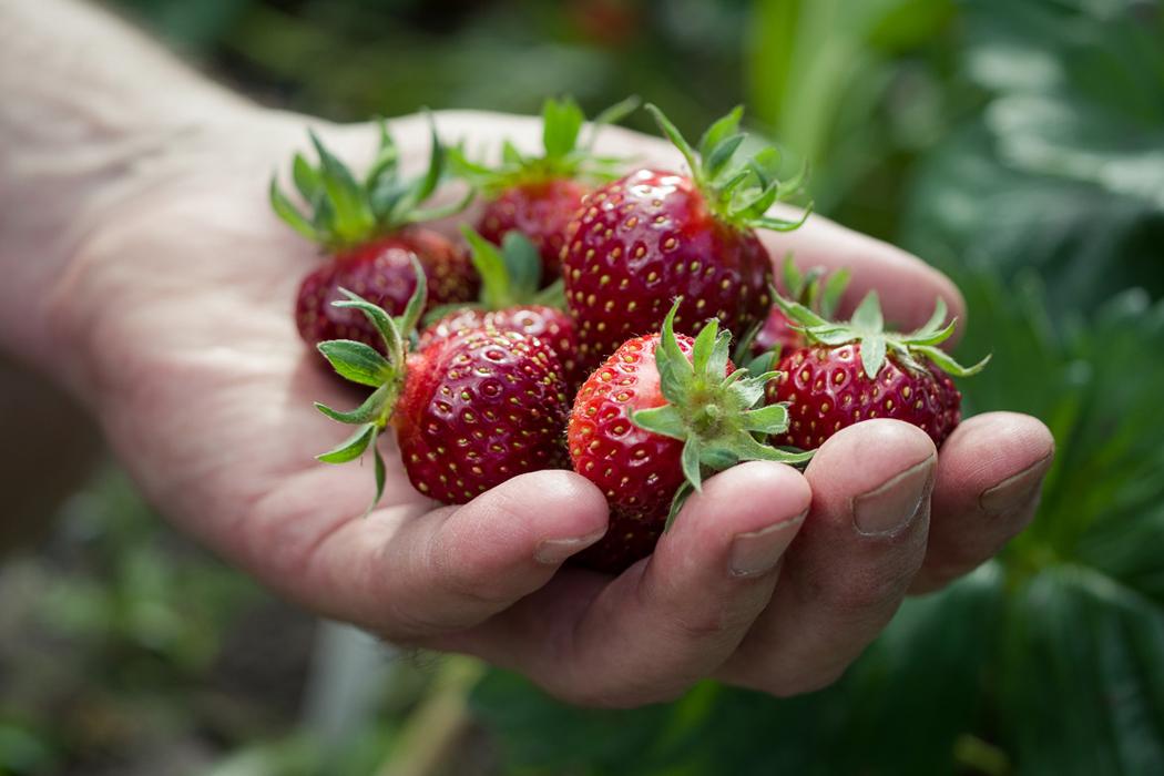 Erdbeeren Ernten Erdbeeren Ratgeber Garten Schlüter