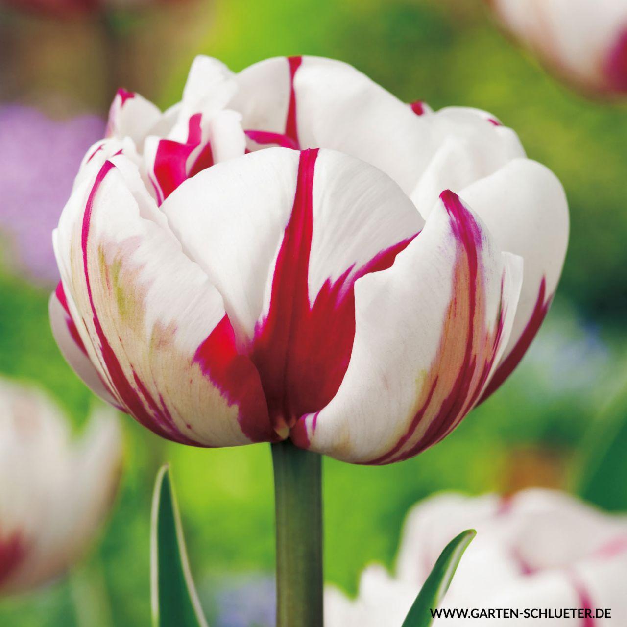 Gefüllte späte Tulpe 'Carneval de Nice' - 7 Stück