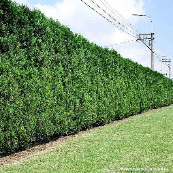 Goldspitz-Lebensbaum Thuja plicata 'Aurescens' Bild