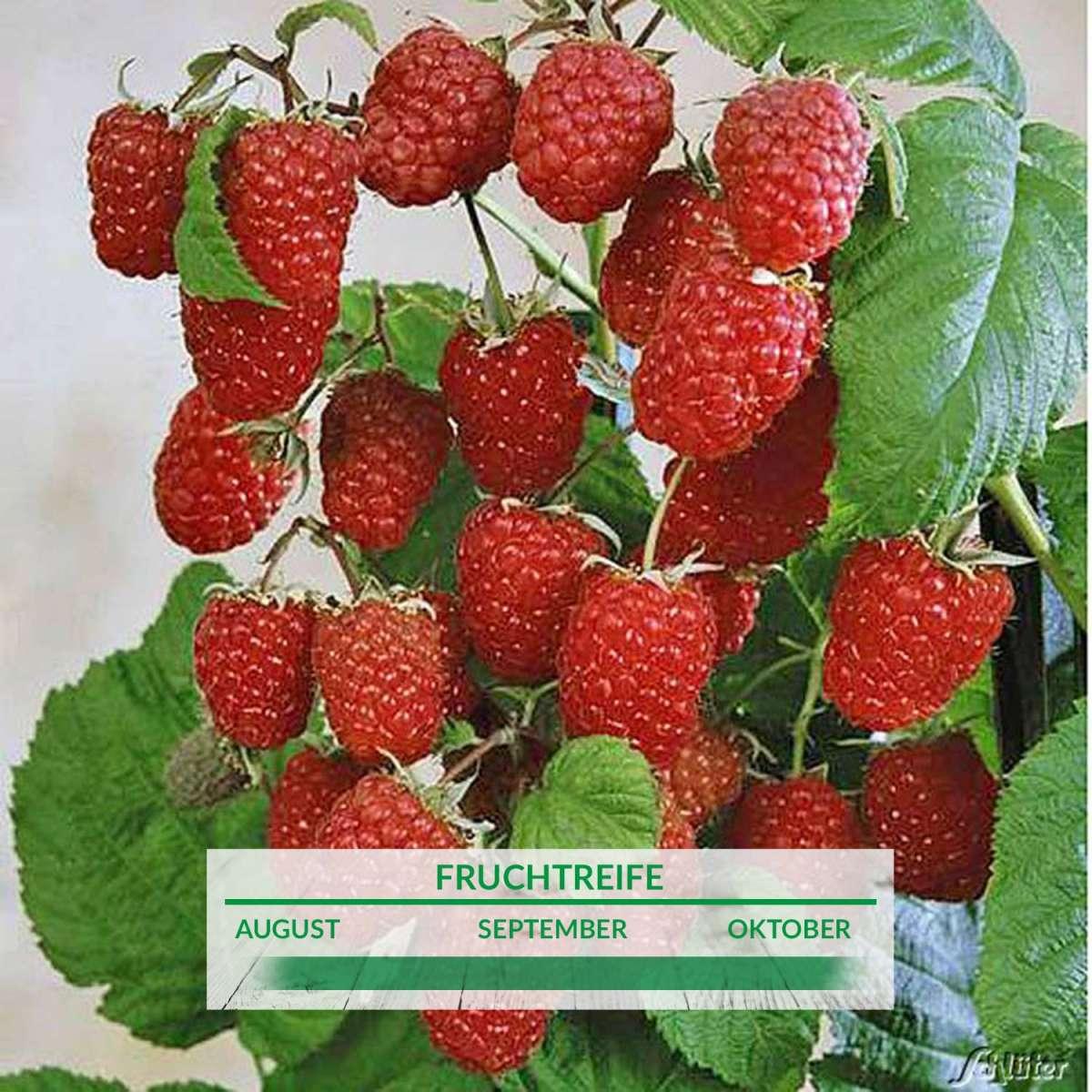 Extrem Himbeere 'Autumn First®' - Rubus idaeus 'Autumn First UQ94