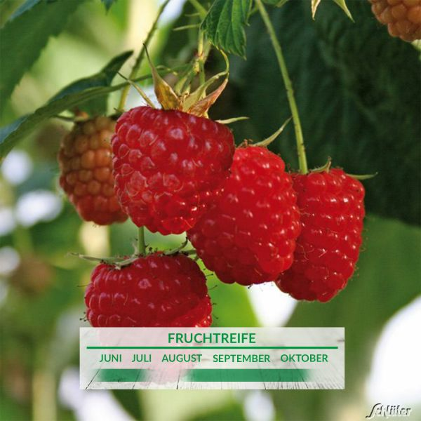 Säulen-Himbeere 'Twotimer® Sugana®' Rubus idaeus 'Twotimer® Sugana®' Bild