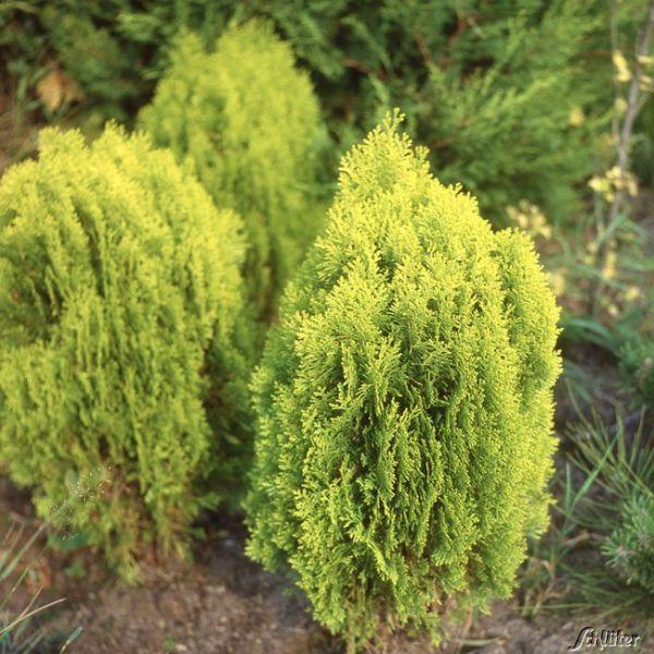 Morgenländischer Lebensbaum 'Aurea Nana' Thuja orientalis 'Aurea Nana' Bild
