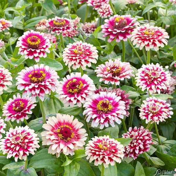 Zinnie 'Flamenco' Zinnia 'Flamenco' Bild