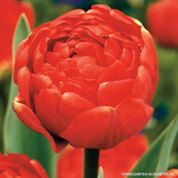 Gefüllte späte Tulpe 'Icon' - 7 Stück Tulipa 'Icon' Bild