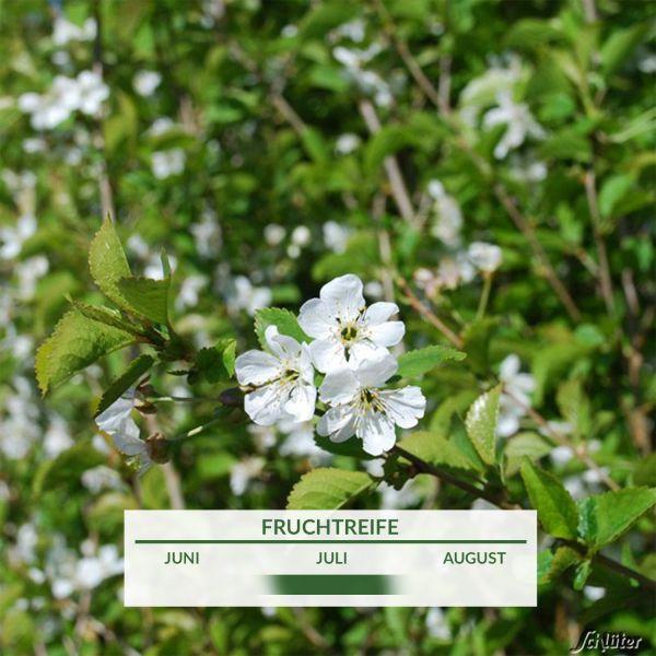 Sauerkirsche 'Kobold' Prunus cerasus 'Kobold' Bild