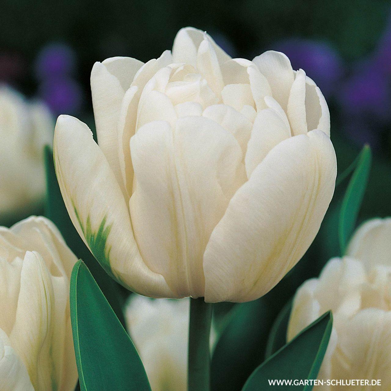 Garten-Schlueter.de: Gefüllte frühe Tulpe Mondial - 7 Stück