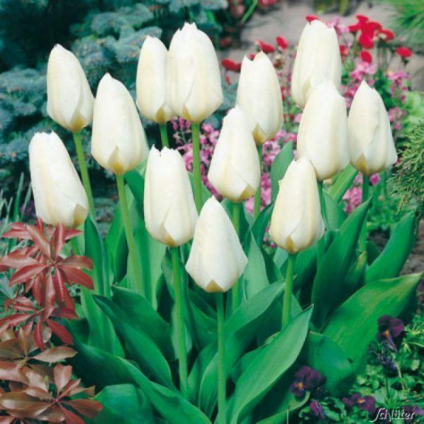 """Fosteriana Tulpe 'White Emperor/Purissima"""" - 10 Stück Tulipa forsteriana 'White Emperor/Purissima' Bild"""