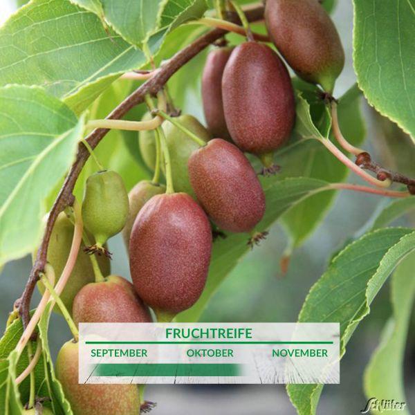 Minikiwi 'Kiwi Berry® Red Jumbo®' Actinidia arguta Bild