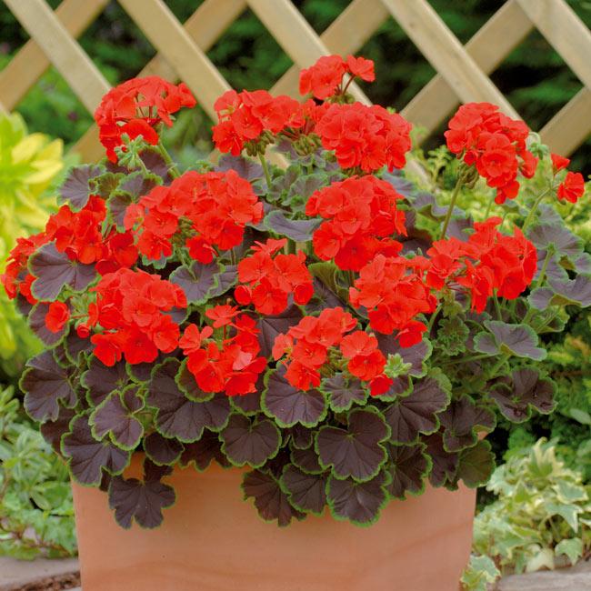 geranien schneiden so werden die zierpflanzen fit f r den sommer. Black Bedroom Furniture Sets. Home Design Ideas