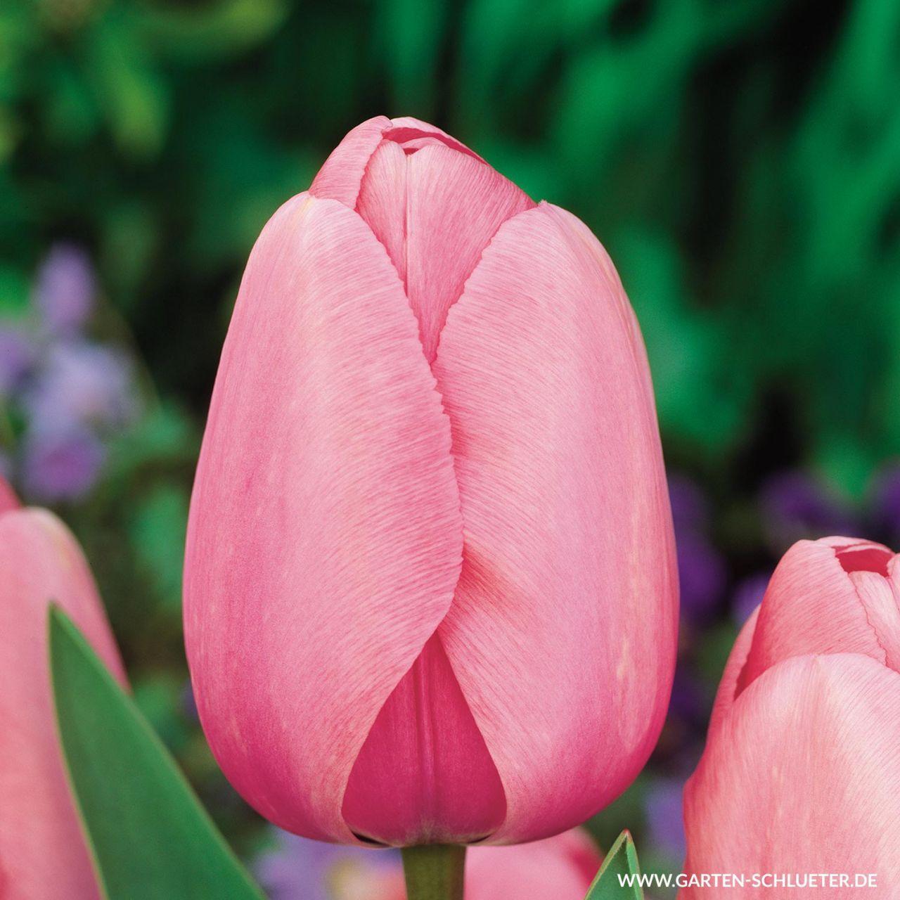 Garten-Schlueter.de: Darwin - Hybrid Tulpe Pink Impression - 10 Stück
