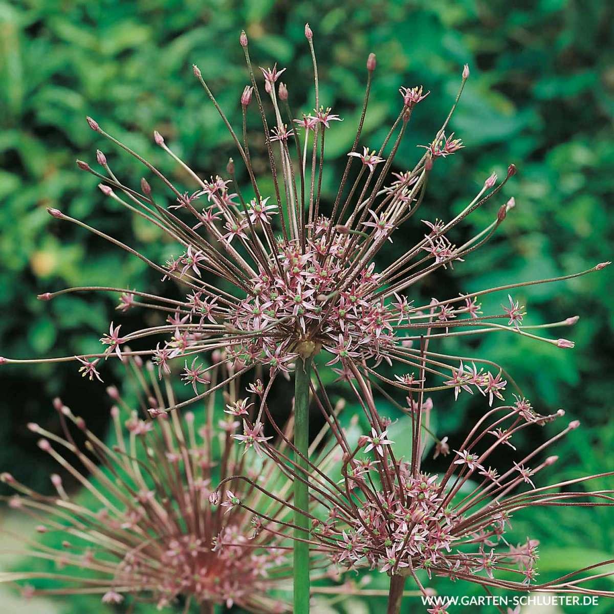 Granat Kugellauch Allium atropurpureum